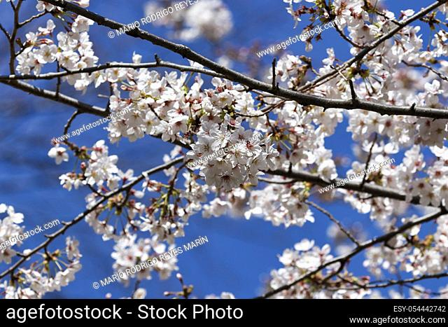 Cherry blossoms in full bloom is seen at Ueno Park in Tokyo, Japan