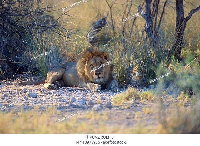 Lion, Panthera leo, Felidae, male, cat, beast of prey, mammal, animal, Etosha, National Park, Namibia