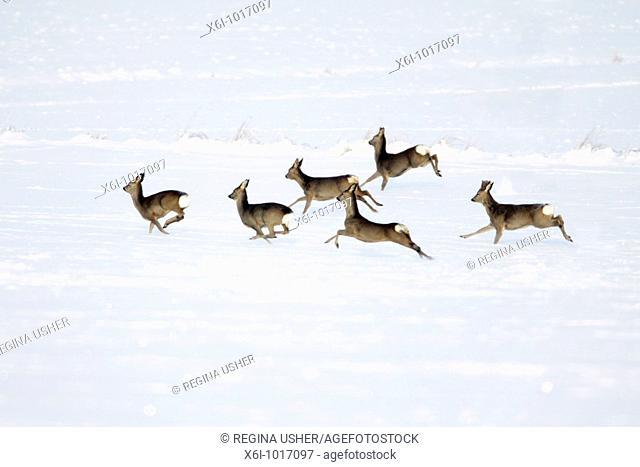 Roe deer, Capreolus capreolus, herd in flight, in winter, Harz mountains, Lower Saxony, Germany