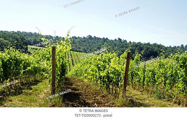 Italy, Montepulciano, Sunny day over vineyard