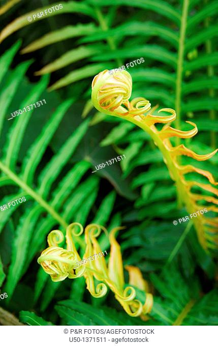Ferns, young leaves, Pterophyta, 2009