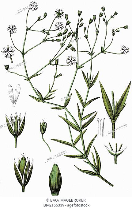 Chickweed (Minuartia gramineae), medicinal plant, useful plant, chromolithograph, circa 1790