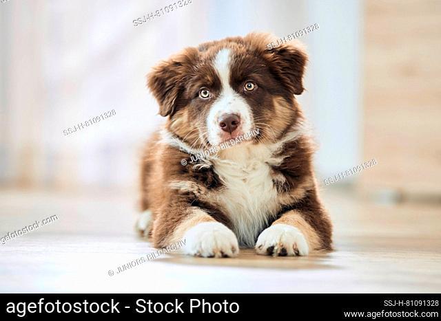 Australian Shepherd. Puppy lying on wooden floor. Germany