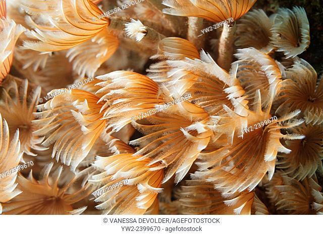Tube worms in the Caribbean sea around Bonaire. Kokerwormen