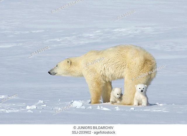 Polar Bear (Ursus maritimus, Thalarctos maritimus). Slimmed down mother with twin cubs standing on snow. Wapusk National Park, Canada