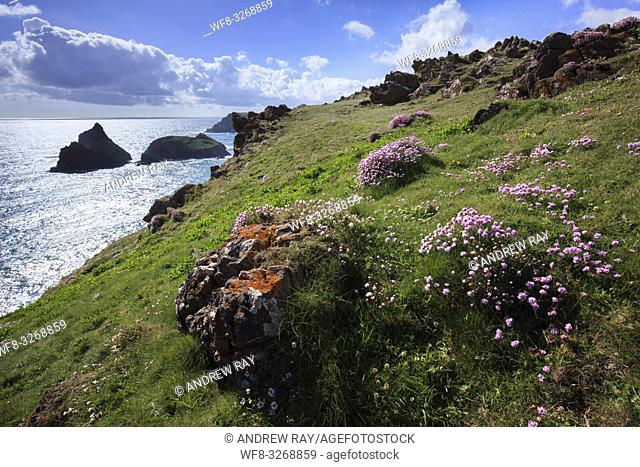 Sea thrift near the South West Coast Path on Cornwall's Lizard Peninsula with the sea stacks at Kynance Cove in the distance