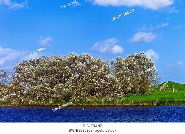 white poplar, silver-leaved poplar, abele (Populus alba), white poplars at a river, Germany