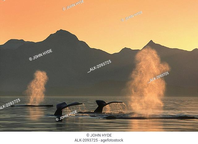 Group Of Humpback Whales @ Sunset Se Ak Composite /Nlynn Canal