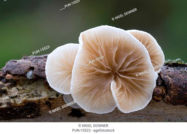 Close-up of a group of variable oysterling fungi Crepidotus variabilis showing the distinctive fan-shaped crowded gills growing on a rotting twig in a Norfolk...