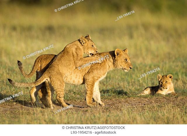African lion cubs (Panthera leo) playing, Maasai Mara National Reserve, Kenya, Africa
