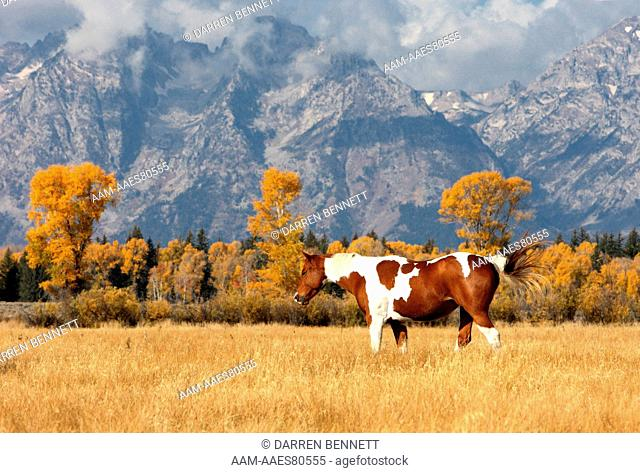 Domestic Horse with Mountain Backdrop, Teton National Park, Wyoming