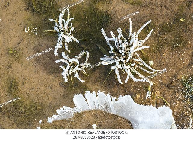 Frozen vegetation. Almansa Reservoir. Albacete province. Spain