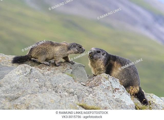 Alpine Marmot, Marmota marmota, adult with young, Hohe Tauern National park, Austria