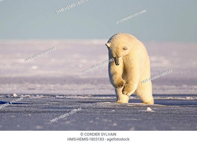 United States, Alaska, Arctic National Wildlife Refuge, Kaktovik, Polar Bear( Ursus maritimus ), 2 and 10 months years old cub, jumping, pushing on the ice