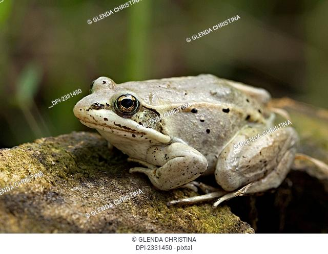 Tree frog up close on a rock in the summer;Palmer alaska united states of america
