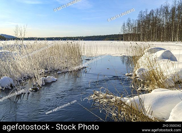 Winter landscape, creek with open water, plenty of snow in the forest, clear blue sky, Boden county, Norrbotten, Sweden
