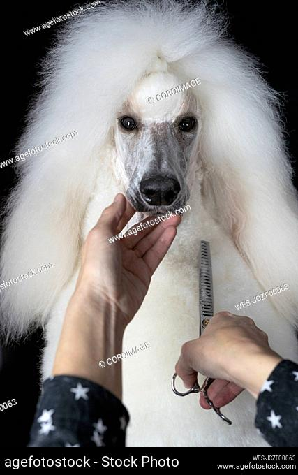 Woman's hands trimming white Standard Poodle