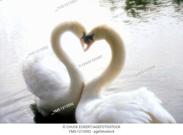 Two Swans Necking in Heart Shape