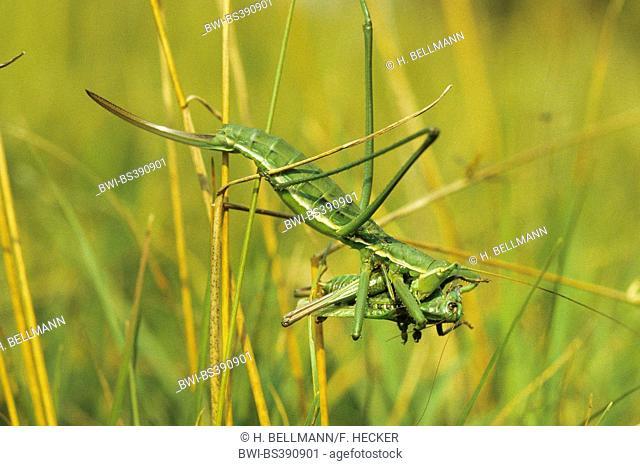 Predatory bush cricket, Predatory bush-cricket, Spiked Magician (Saga pedo), female with prey