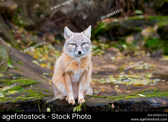 Corsac fox in the forest