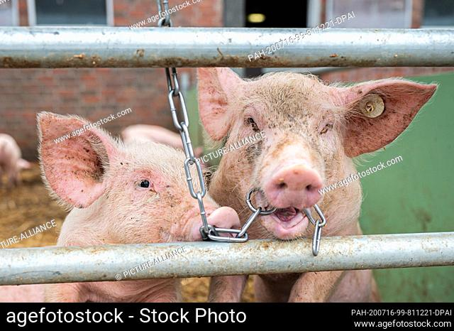 15 July 2020, Lower Saxony, Aurich: Pigs on an organic farm look out of their stalls while one of them has a chain in its mouth