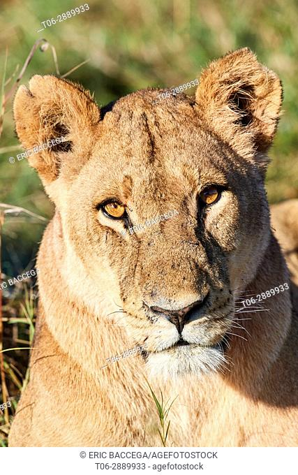 Portrait of African lioness with an ear cut off (Panthera leo) Okavango Delta, Moremi National Park, Botswana