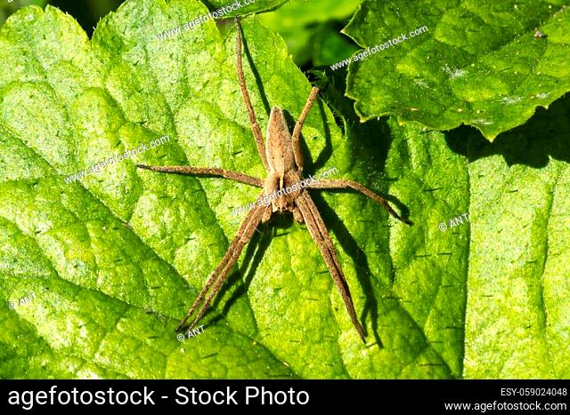 Nursery web spider (Pisaurina mira) a common garden and meadow insect stock photo