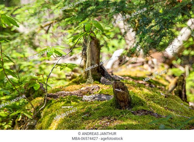 Fallen mossy trunk in the green forest, Joffre Lakes Provincial Park, British Columbia, Canada