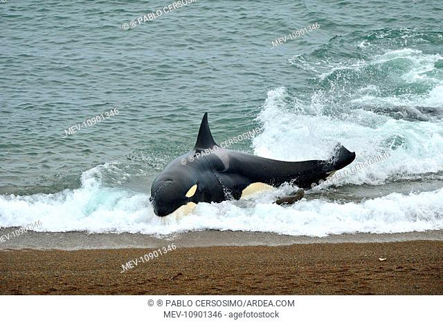 Orca / Killer Whale (Orcinus orca). hunting South American Sea Lion (Otaria flavescens) series 6 of 10 - Peninsula Valdes, Patagonia, Argentina, South Atlantic