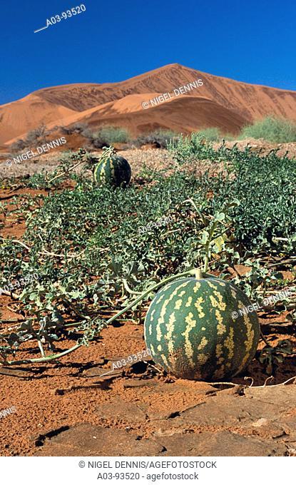 Namib Tsamma (Citrullus ecirrhosus), Namib desert. Namib-Naukluft National Park, Namibia