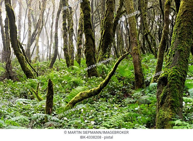 Moss-covered trees in a laurel forest, Garajonay National Park, La Gomera, Canary Islands, Spain