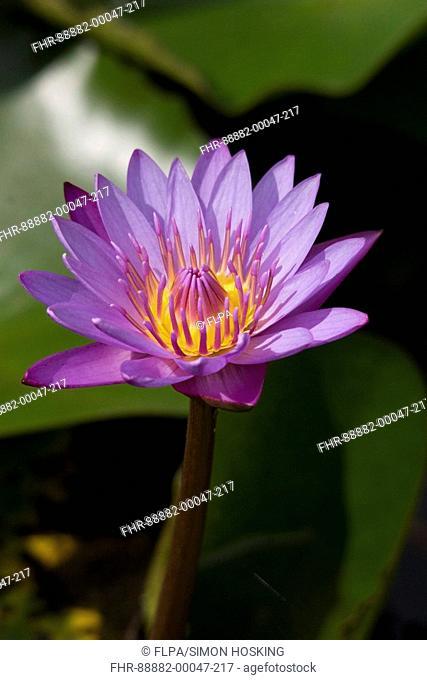 Blue Waterlily Nymphaea stellata flowering, National flower, Sri Lanka