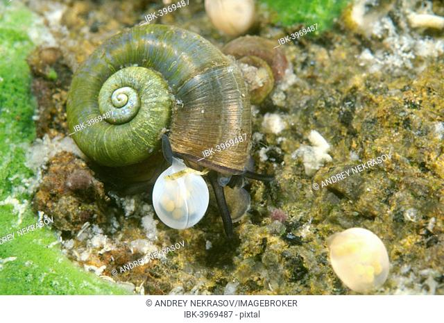 Great Ramshorn Snail (Planorbis planorbis) next to eggs, Lake Baikal, Siberia, Russia