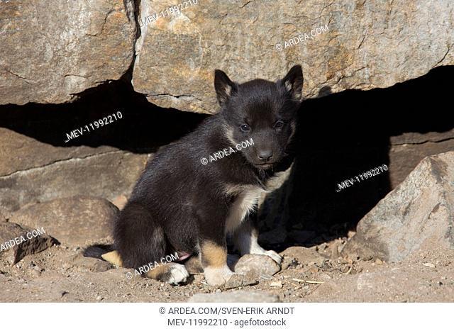 Greenland Dog - puppy - Greenland
