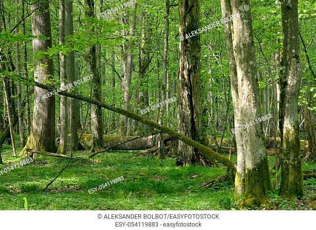 Old natural deciduous stand with oak trees and broken one lying in background, Bialowieza Forest, Poland, Europe