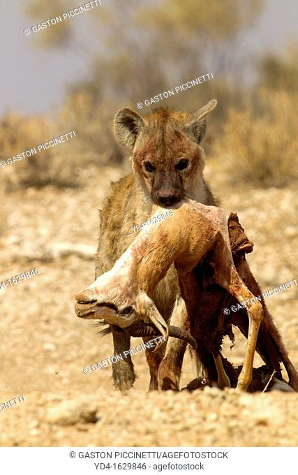 Spotted hyaena Crocuta crocuta, carrying a body springbok Antidorcas marsupialis, Kgalagadi Transfrontier Park, Kalahari desert, South Africa