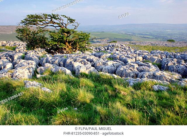 View of limestone pavement and hawthorn tree, Twistleton Scars, near Ingleborough, Ribblesdale, Yorkshire Dales N P , North Yorkshire, England, august