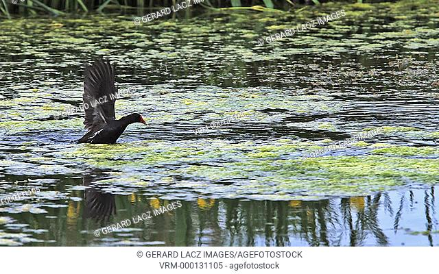 Common Moorhen or European Moorhen, gallinula chloropus, Immature in Fligh, Taking off, Pond in Normandy, Slow motion