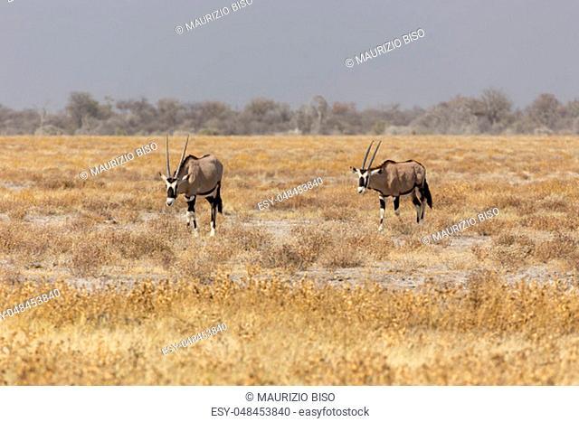 Couple of gemsbock, beisa Oryx gazella, stands on savannah in Namibia