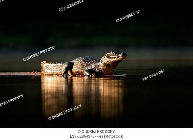 Yacare Caiman, gold crocodile in the dark water surface