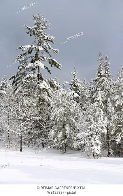 Snow covered evergreen tree forest after a winter snowstorm Marmora Ontario