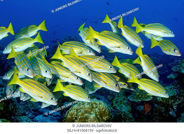 Blue-and-gold snapper (Lutjanus viridis). School under water. Cocos Island, Costa Rica, Pacific Ocean