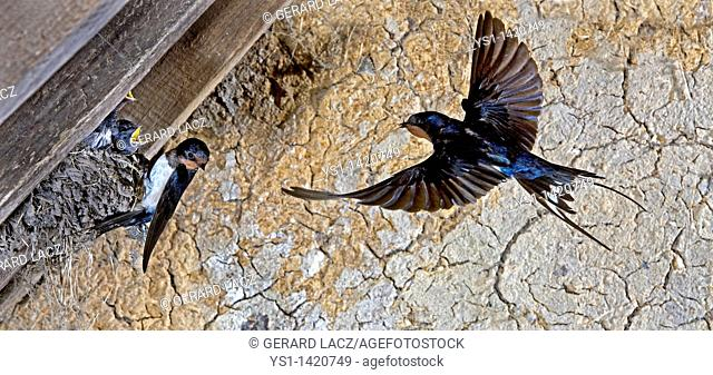 BARN SWALLOW OR EUROPEAN SWALLOW hirundo rustica, ADULT IN FLIGHT, FEEDING CHICKS AT NEST, NORMANDY IN FRANCE
