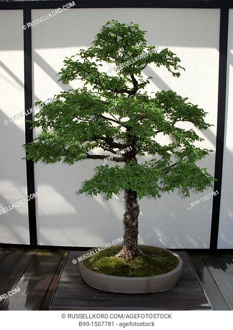 Bonsai Elm Tree Longwood Botanical Gardens Kennett Square Chester County Pennsylvania USA
