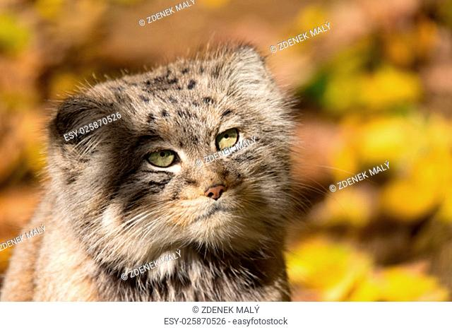 portrait of beautiful cat, Pallas's cat, Otocolobus manul resting in its habitat, looking for prey