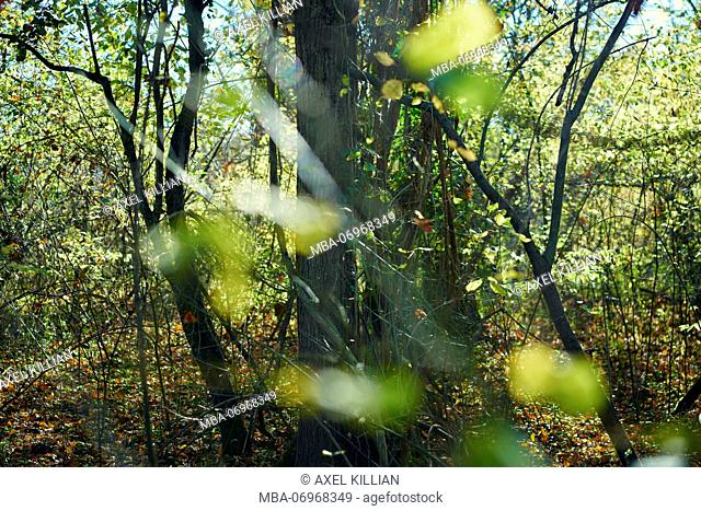 Trees, branches, leaves, blurred, forest with beeches, autumn colours, back light