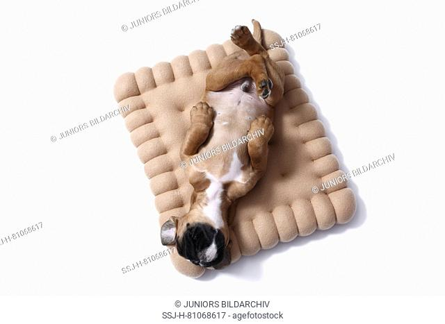 German Boxer. Puppy (7 weeks old) sleeping on a cookie-shaped cushion. Studio picture