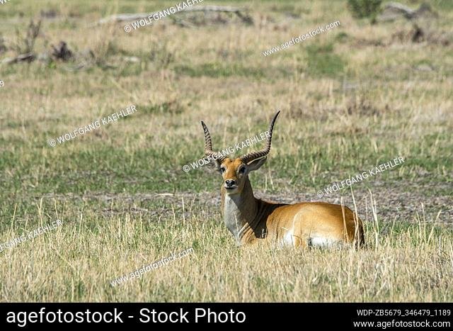 A Red Lechwe, or Southern Lechwe (Kobus leche leche) male laying on the floodplain in the Gomoti Plains area, a community run concession