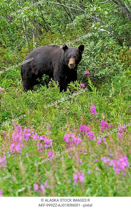 A Black Bear searches for soap berries along the Tatshenshini River, Tatshenshini-Alsek Wilderness, Yukon Territory, Canada, Summer