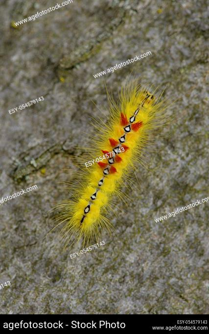 Caterpillar from Sycamore (moth) on a tree. Raupe der Ahorn-Rindeneule (Acronicta aceris)